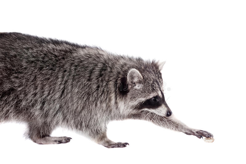 Raccoon (Procyon lotor) on the white background. Raccoon (3 years old) isolated on the white background stock photo
