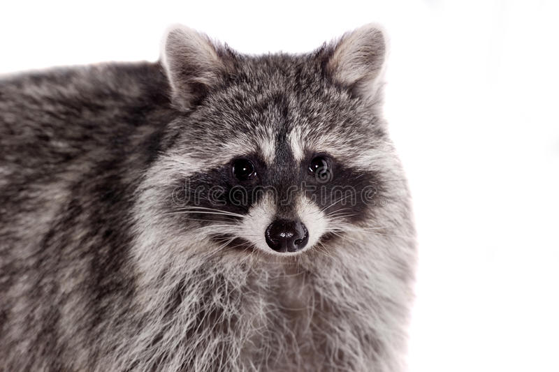 Raccoon (Procyon lotor) on the white background. Raccoon (3 years old) isolated on the white background royalty free stock photography