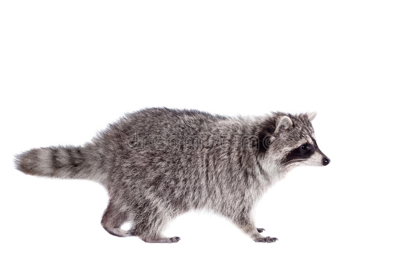Raccoon (Procyon lotor) on the white background. Raccoon (3 years old) isolated on the white background stock image