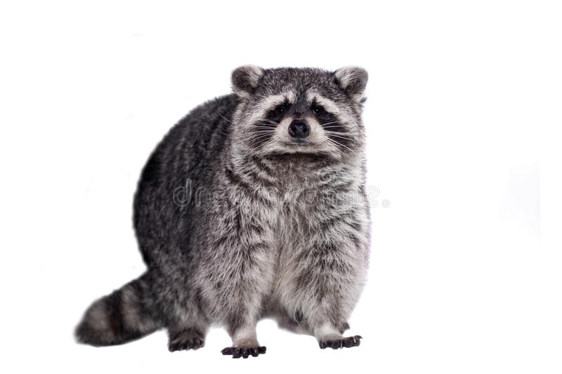 Raccoon (Procyon lotor) on the white background. Raccoon (15 years old) - isolated on the white background royalty free stock photography