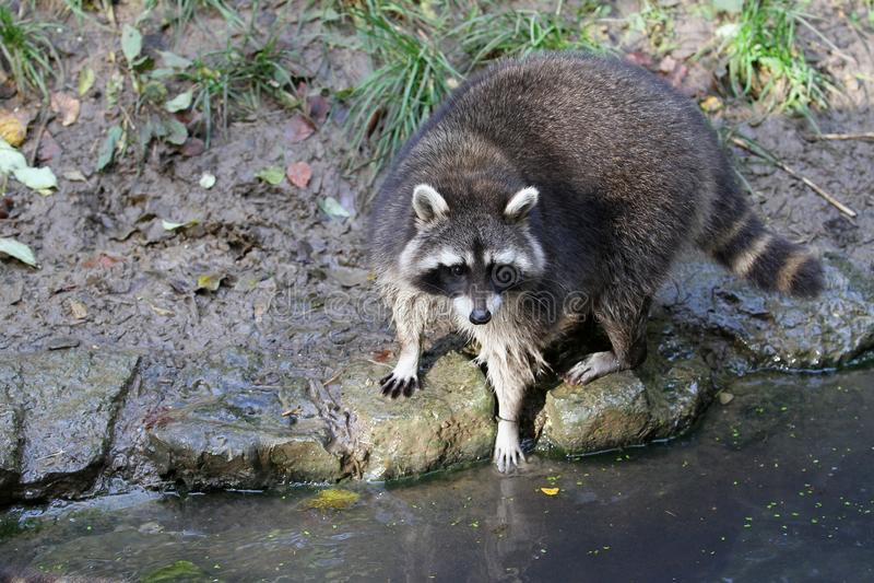 Raccoon, Procyonidae, Mammal, Fauna Free Public Domain Cc0 Image