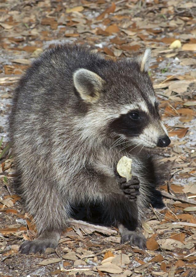 Raccoon que come a microplaqueta de batata imagens de stock royalty free