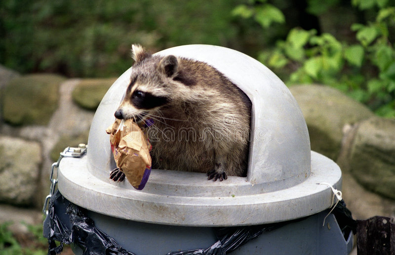Raccoon que invade o balde do lixo. fotos de stock royalty free