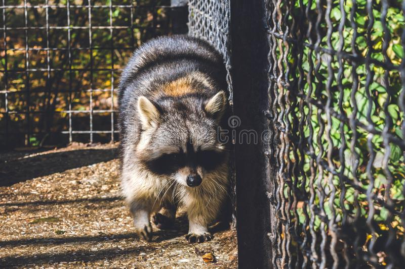 Raccoon. In a zoo cage, wild, cute, animal, wildlife, nature, mammal, face, animals, fur, portrait, beautiful, background, procyon, adorable, s, park, black stock photos