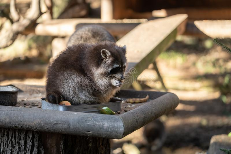 Eating Raccoon or Racoon Procyon lotor , also known as the North American raccoon at mealtime in the zoo. stock photos