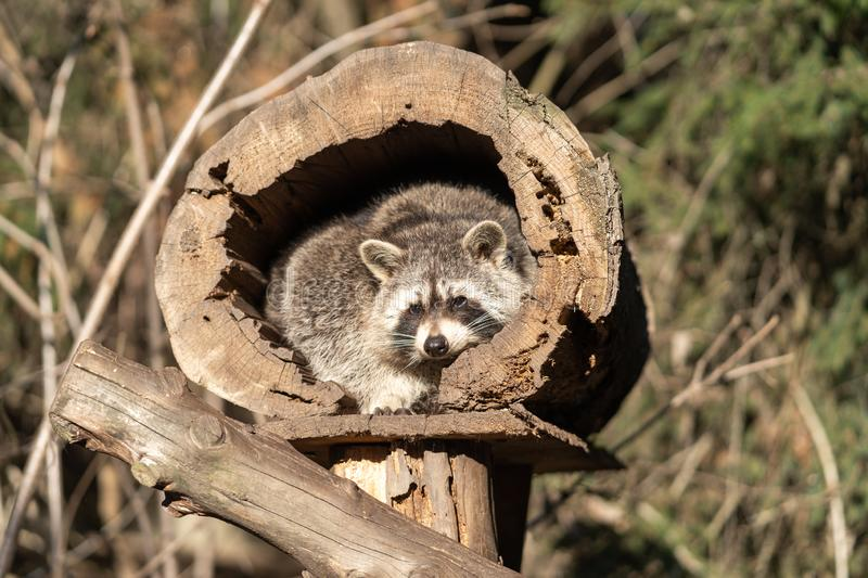Raccoon or Racoon Procyon lotor , also known as the North American raccoon in the zoo. royalty free stock photography