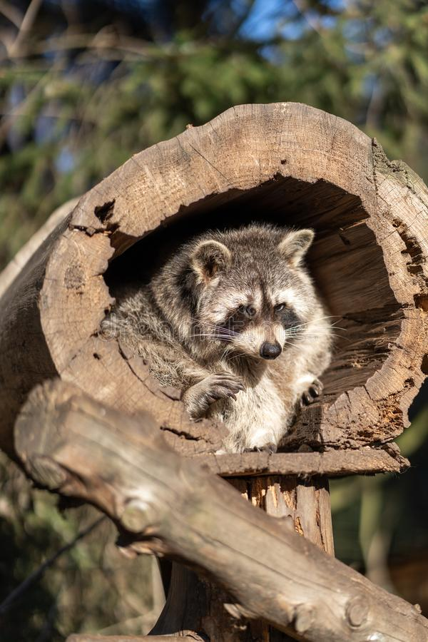 Raccoon or Racoon Procyon lotor , also known as the North American raccoon in the zoo. royalty free stock photo