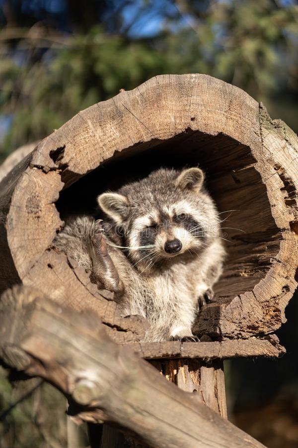 Raccoon or Racoon Procyon lotor , also known as the North American raccoon in the zoo. royalty free stock image