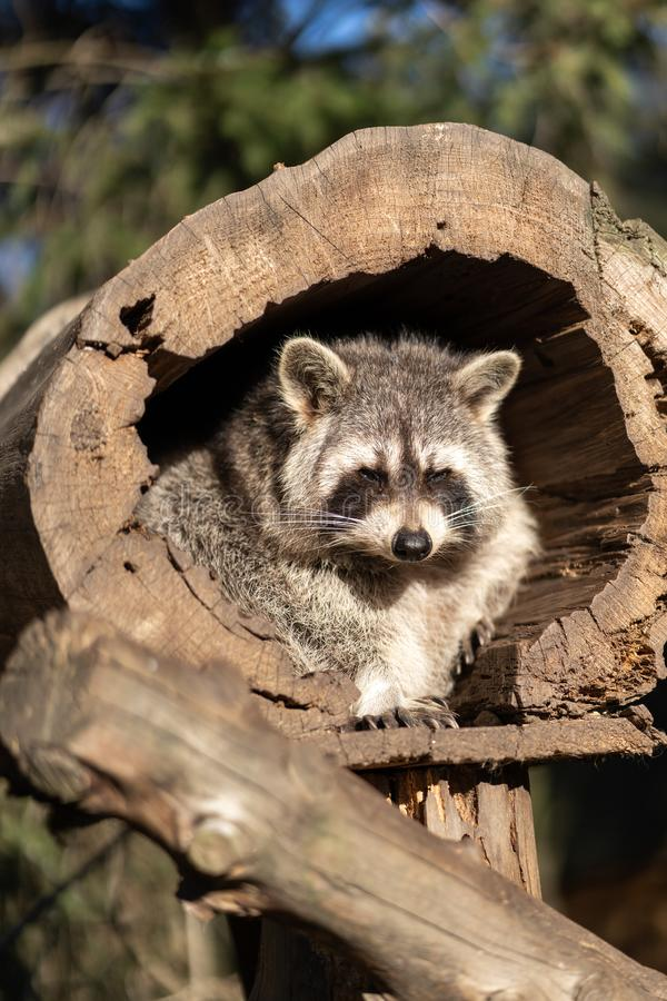 Raccoon or Racoon Procyon lotor , also known as the North American raccoon in the zoo. royalty free stock photos