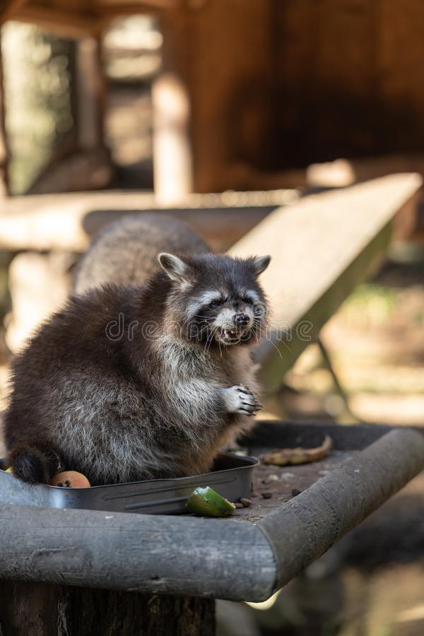 Eating Raccoon or Racoon Procyon lotor , also known as the North American raccoon at mealtime in the zoo. stock photography