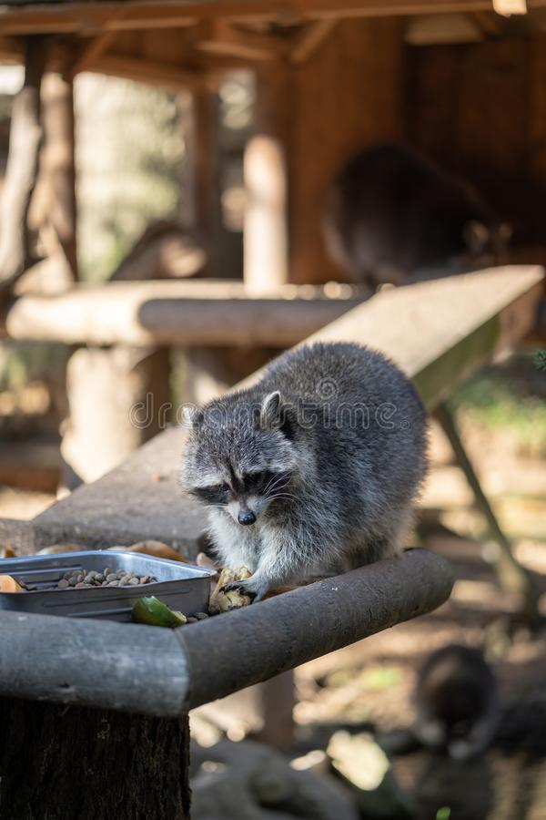 Eating Raccoon or Racoon Procyon lotor , also known as the North American raccoon at mealtime in the zoo. royalty free stock images