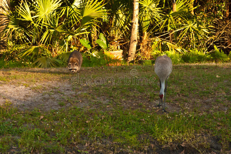 Download Raccoon and Sandhill Crane stock photo. Image of green - 19182544