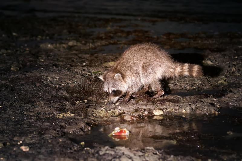 Raccoon searches mollusks for littoral during low tide. Animal i. N a natural habitat. Night Scene stock photos