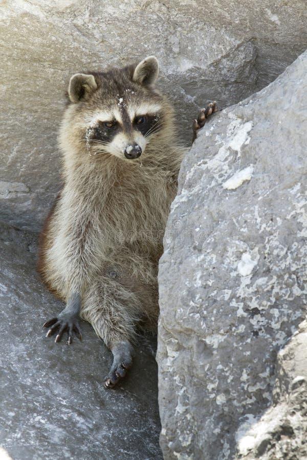 Raccoon selvagem fotografia de stock royalty free