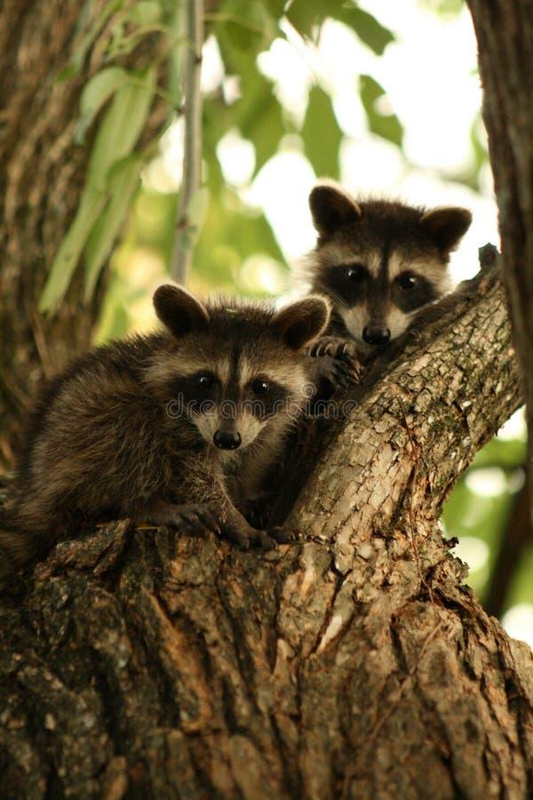 Download Raccoon Babies stock photo. Image of babies, siblings - 33558968
