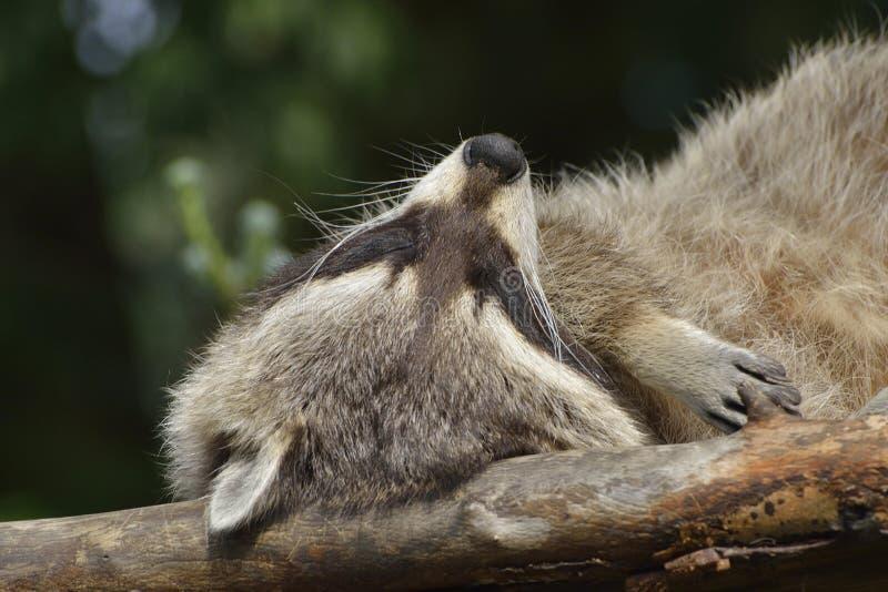 Raccoon. Sleeping raccoon on a tree stock image