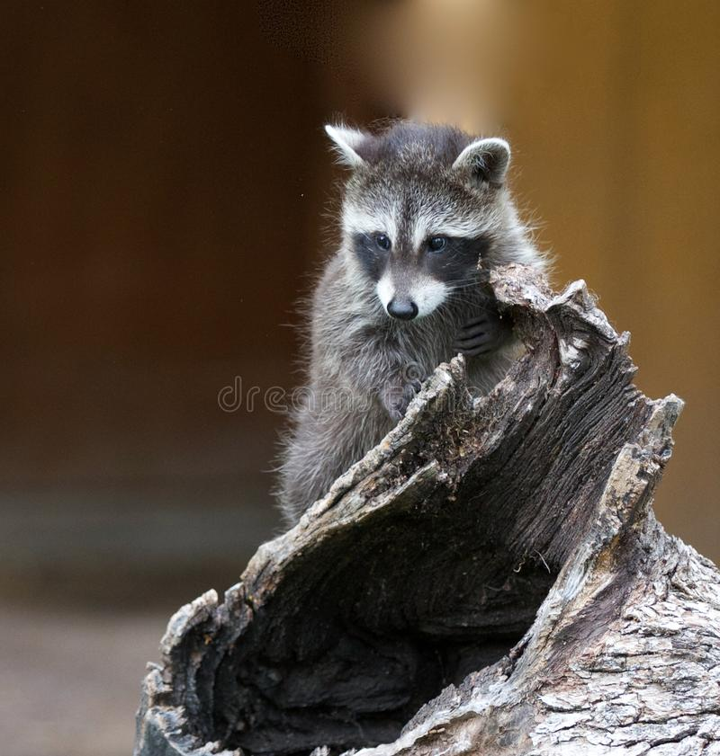 Cute Baby Raccoon royalty free stock photos