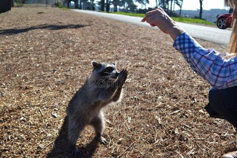 Raccoon speelt met de hand van een meisje in Harding Park met een weg en groen op de achtergrond stock fotografie