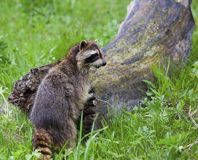 Raccoon standing by log