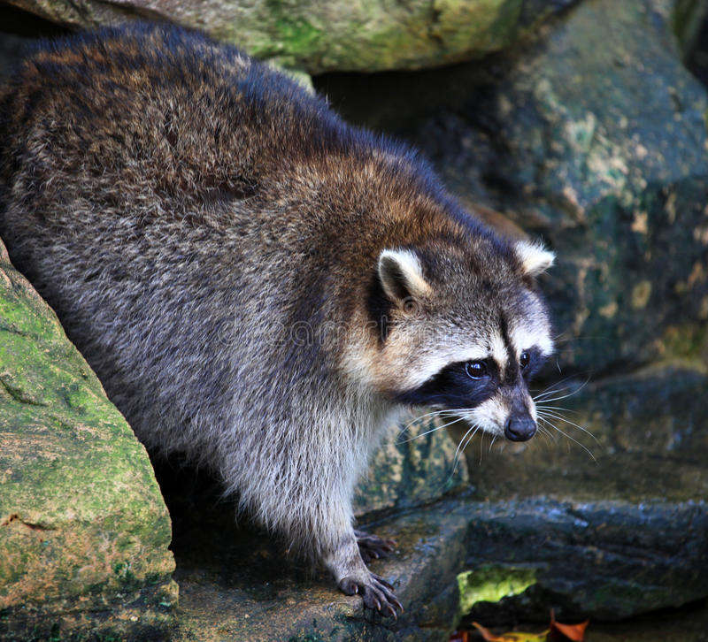 Raccoon. A raccoon in Sunway Safari Park in Malaysia royalty free stock photos