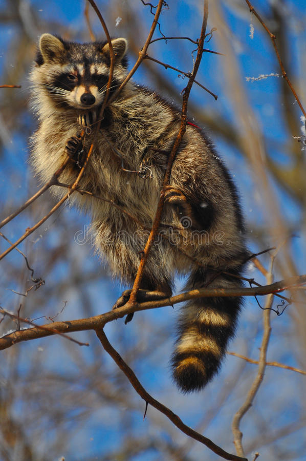 Raccoon in a tree stock photos