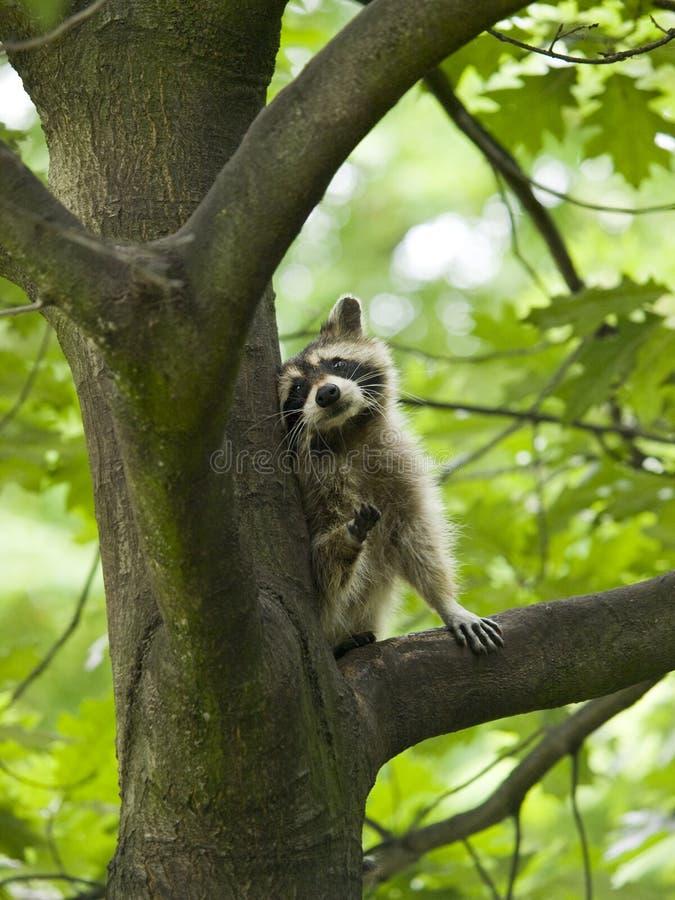 Raccoon in a tree. Cute looking raccoon sitting in a tree stock photo