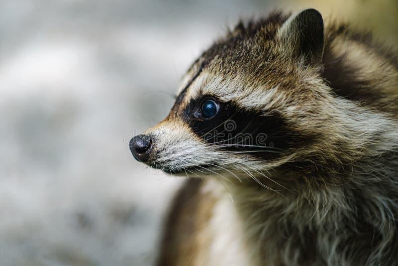 Raccoon wordt geconfronteerd met schattige diernieuwsgierigheid, alertheid stock afbeeldingen