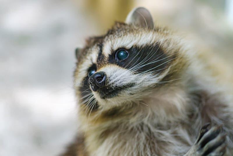 Raccoon wordt geconfronteerd met schattige diernieuwsgierigheid, wilde dieren royalty-vrije stock afbeelding