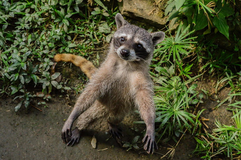 Raccoon in the zoo royalty free stock photo