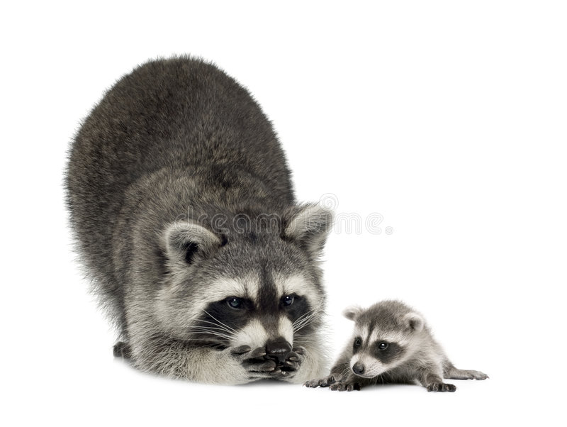 Raccoonand her baby - Procyon lotor stock photos