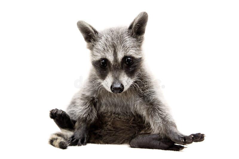 Raccoonen behandla som ett barn royaltyfria bilder