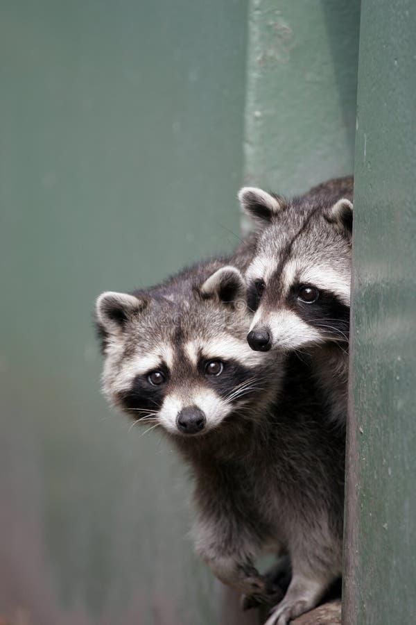 raccoons пар стоковые фото