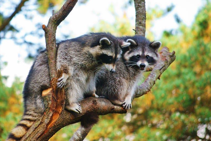 Raccoons. stock photo