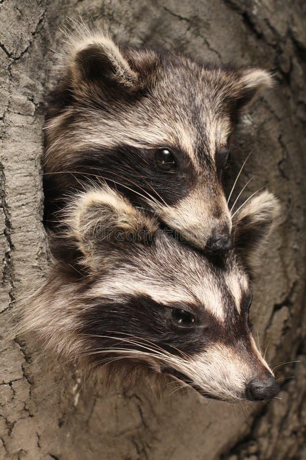 Free Raccoons Royalty Free Stock Photo - 18088595