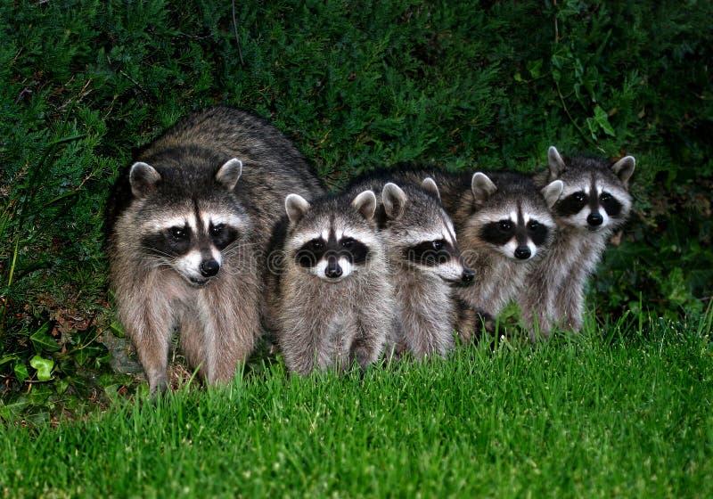 Raccoons fotografia de stock