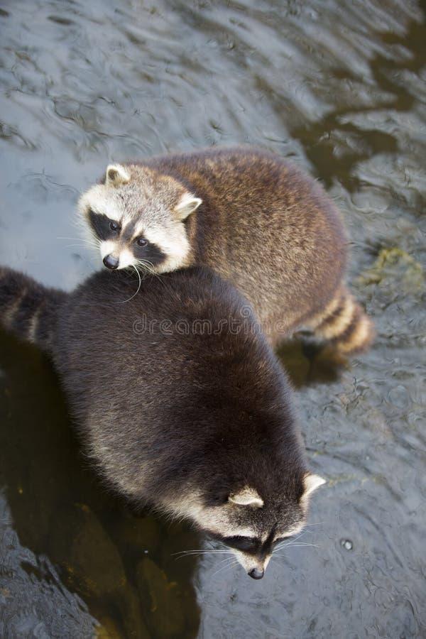 raccoons fotos de archivo