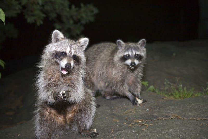Raccoons in Central Park fotografia stock