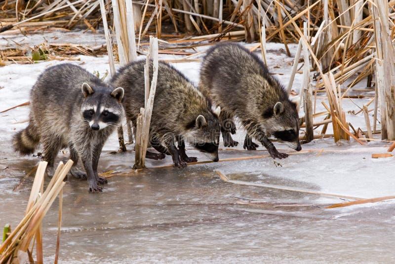 Raccoons comuns fotos de stock royalty free