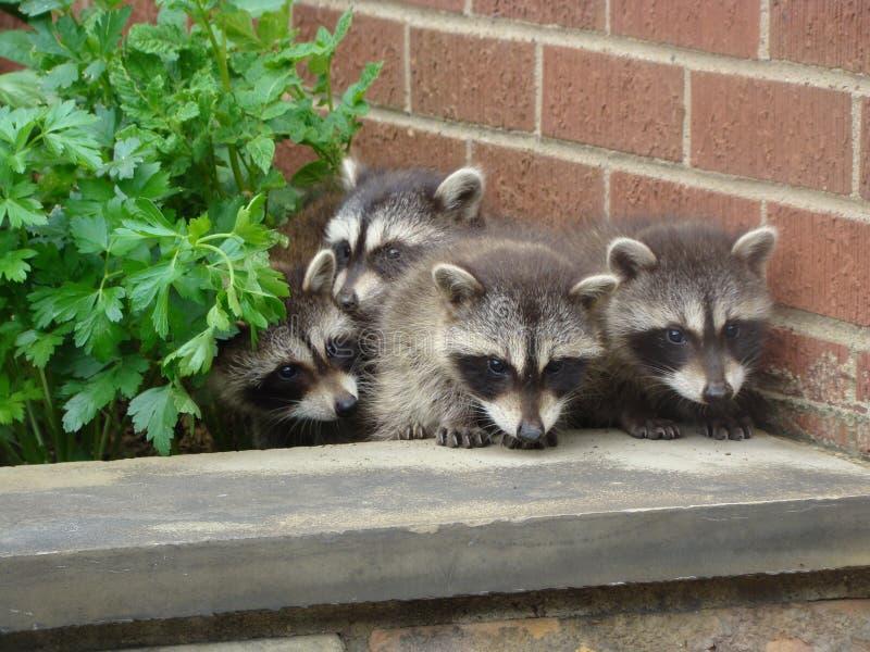 Raccoons del bambino nel giardino immagine stock