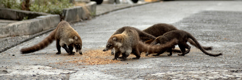 Raccoons eating stock photo