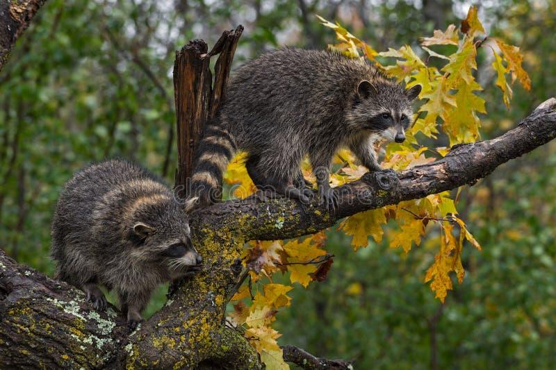 Raccoons Procyon lotor Balance in Tree Autumn stock afbeeldingen