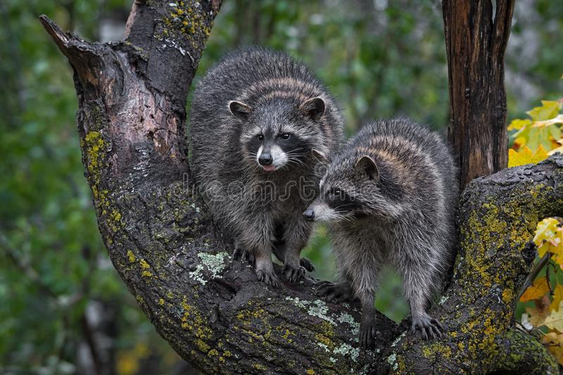 Raccoons Procyon lotor in boom 1 die uit de herfst van de tong tikt stock afbeeldingen