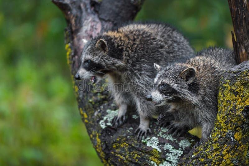 Raccoons Procyon lotor die van boom in de herfst van de Aanwinst wordt verlaten royalty-vrije stock foto's
