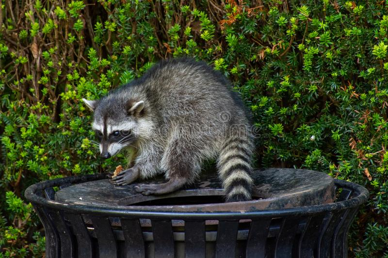 Raccoons Procyon lotor eating garbage or trash in a can invading the city in Stanley Park, Vancouver British Columbia, Canada stock photo
