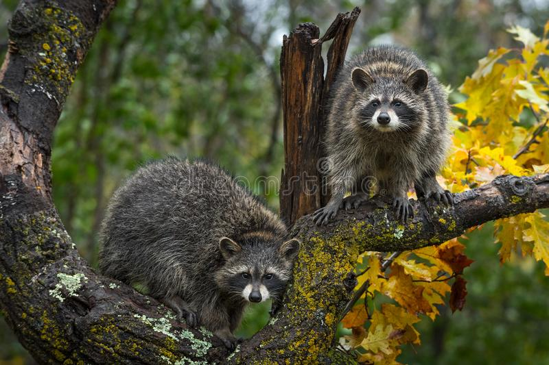 Raccoons Procyon lotor Look Out From Autumn Tree royalty free stock photography
