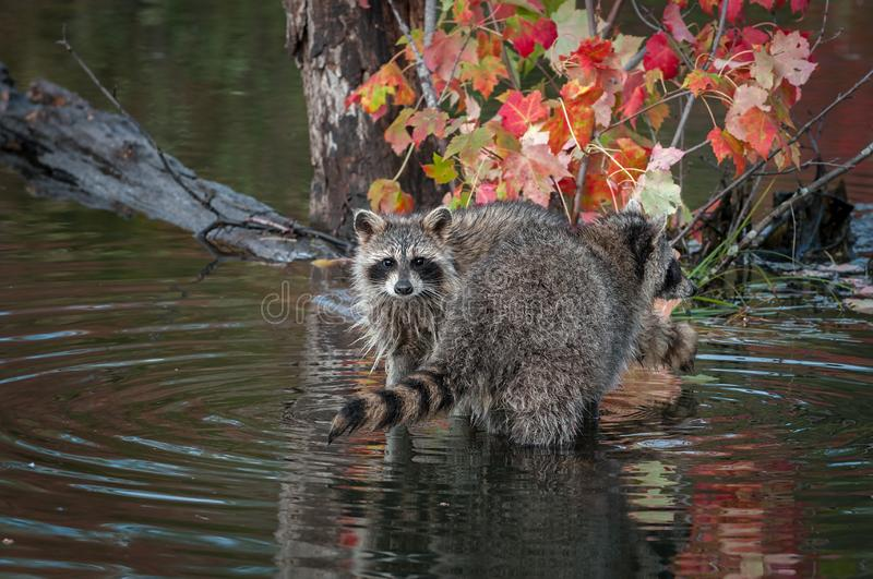 Raccoons Procyon lotor Looks Out Over Others Tail Autumn stock photography
