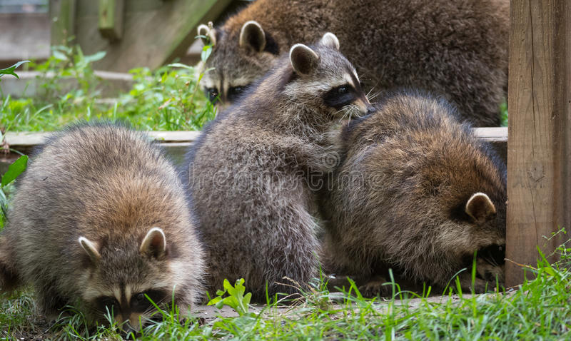 Raccoons(Procyon lotor) in the woods at a feeder. Young members of raccoon (Procyon lotor) family playing, establishing pecking order, grooming one another & royalty free stock photos
