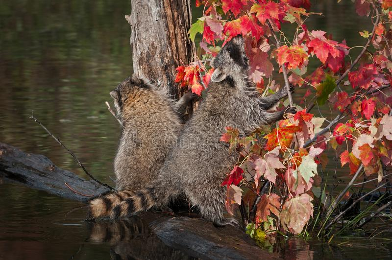 Raccoons Procyon lotor Sniffs at Leaves Autumn royalty free stock photography