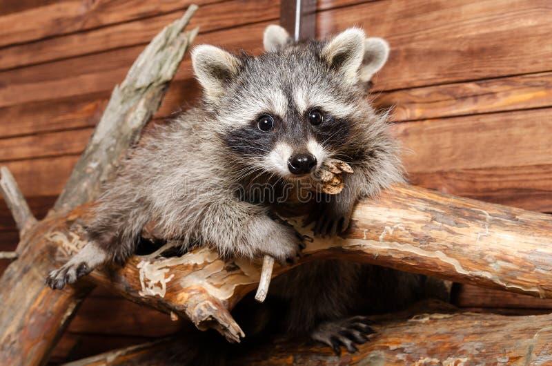 Raccoons stock photos