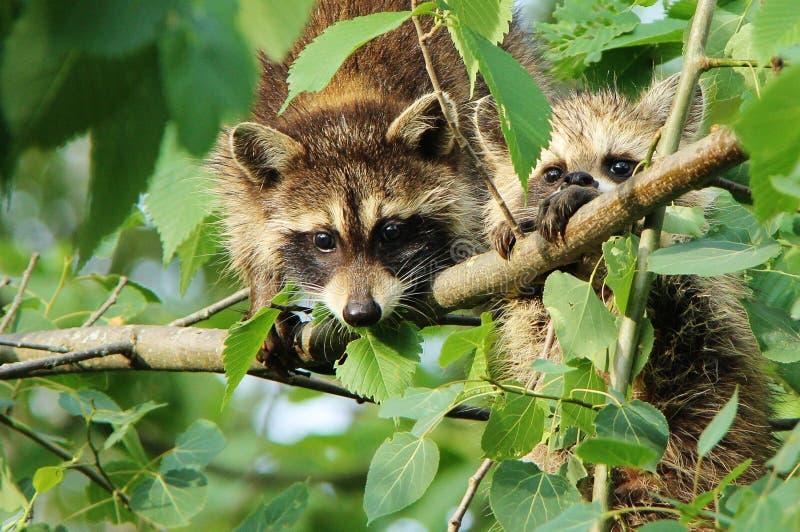 Raccoons. Two raccoons in a tree surprised